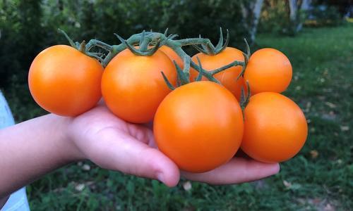 Сорта томатов для долгого хранения