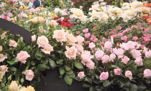 Роза флорибунда: посадка, уход и выращивание сорта с фото