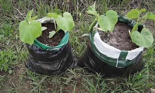 Огурцы в мешках выращивание пошагово с фото и видео
