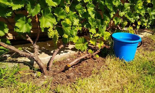 Посадка винограда по курдюмову