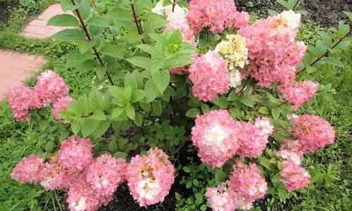 Посадка гортензии весной из горшка