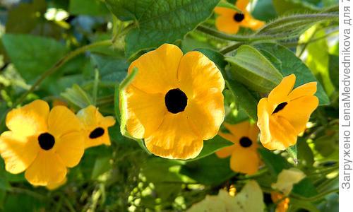 Тунбергия черноглазые цветы выращивание иуход