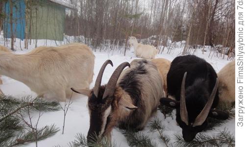 Сколько у козы рождается козлят