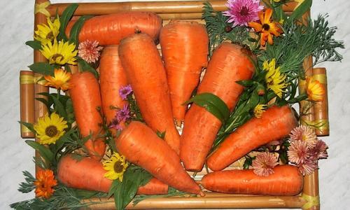Морковь Шантане — неприхотливый и высокоурожайный сорт