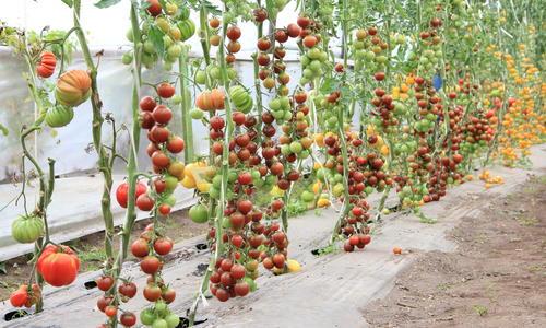 Томат Крем Брюле описание и характеристика сорта выращивание и уход с фото