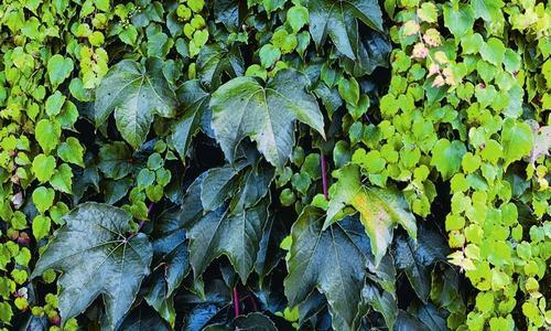 Вьющиеся комнатные растения (80 фото)