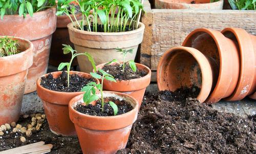 Как пикировать томаты из общей емкости и отдельно-растущие видео