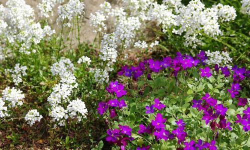 Стелющиеся травянистые растения в вашем саду
