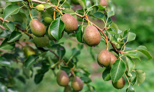 Как вырастить на одном дереве яблоки и груши