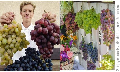 Виноград в саду. Какие сорта выбрать?