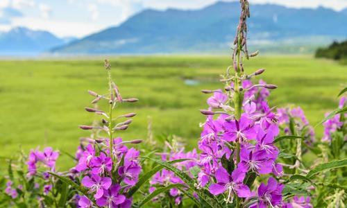 Иван чай трава: польза, народная медицина, рецепты