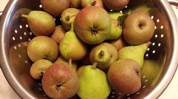 Первый урожай груш