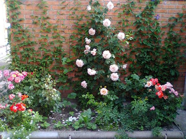 Плетистая роза Полька в окружении спрей-роз