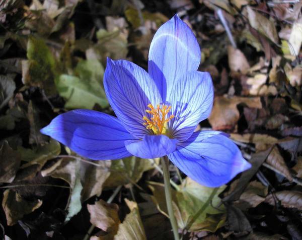 Голубой крымский крокус. Место произрастания Ангарский перевал