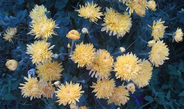 Вот  жёлтые хризантемы,многолетние.высота 40-50см.,цветут с весны до заморозков.