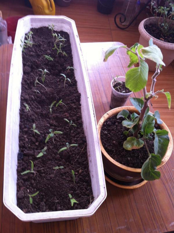 Датура, или дурман. Уход и выращивание из семян. Посадка 54