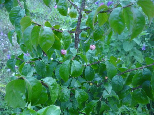 плоды непонятного деревца