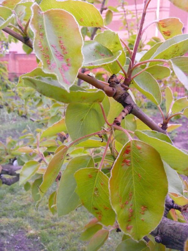 Ещё фото пораженных листьев какой из вариантов лечения?