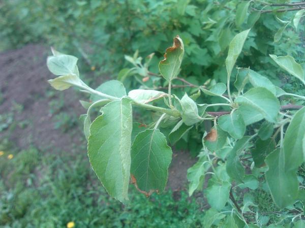 Слабые, больные листики на яблоне