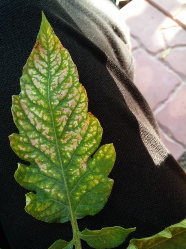 Листья томатов
