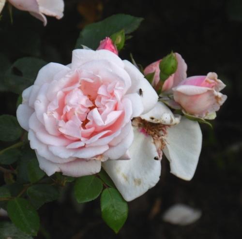 Отдельный цветок розы Нью даун.