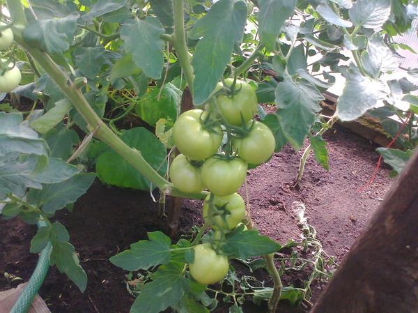 Живу в Кирове, регион северный выросли  вот такие помидоры.