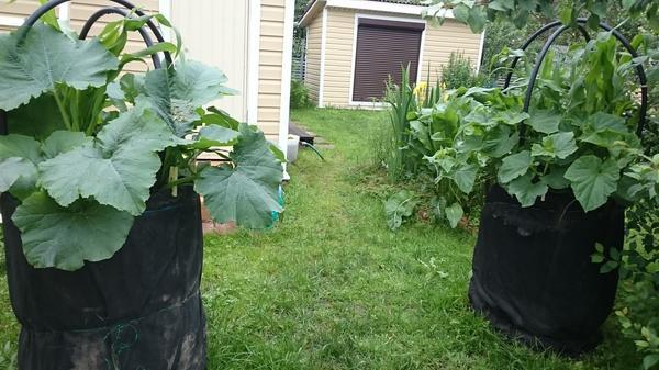 Кабачки тоже можно так сажать вместе с кукурузы.