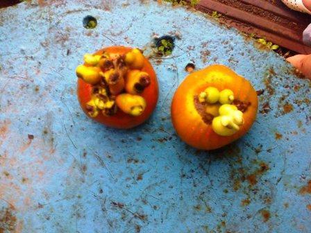 наросты на помидорах в теплице