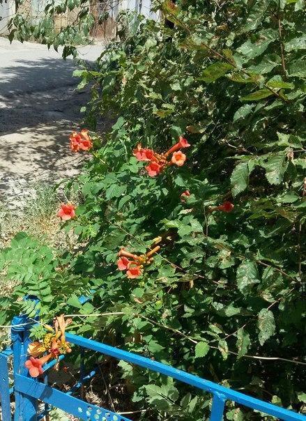Подскажите, пожалуйста, как цветок называется. Многолетний, кустарник, неприхотливый