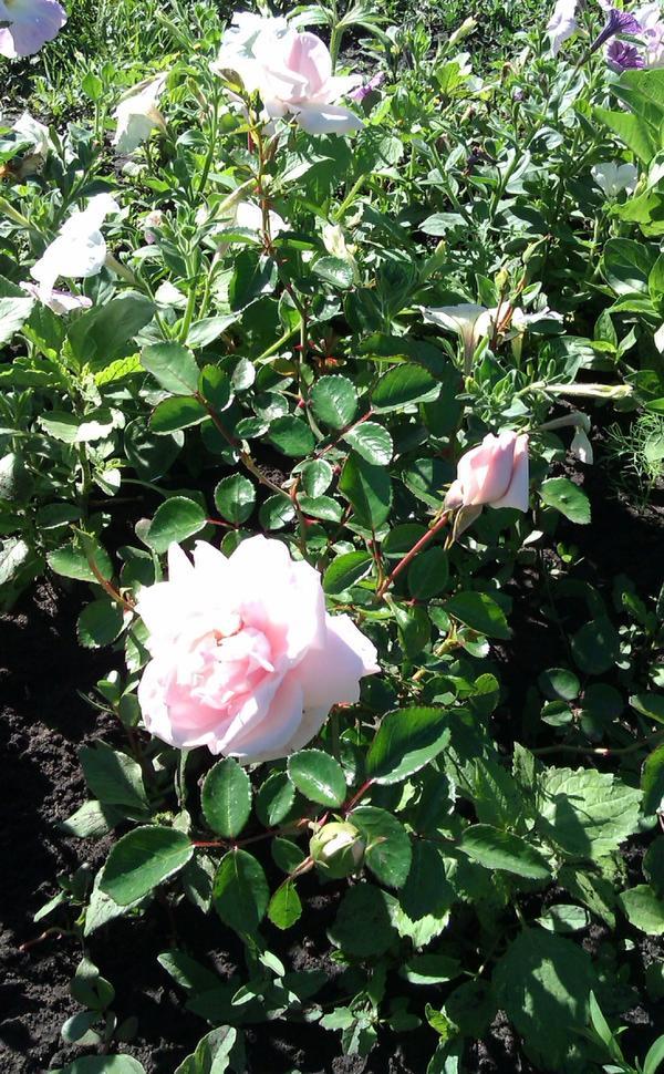 роза 2014