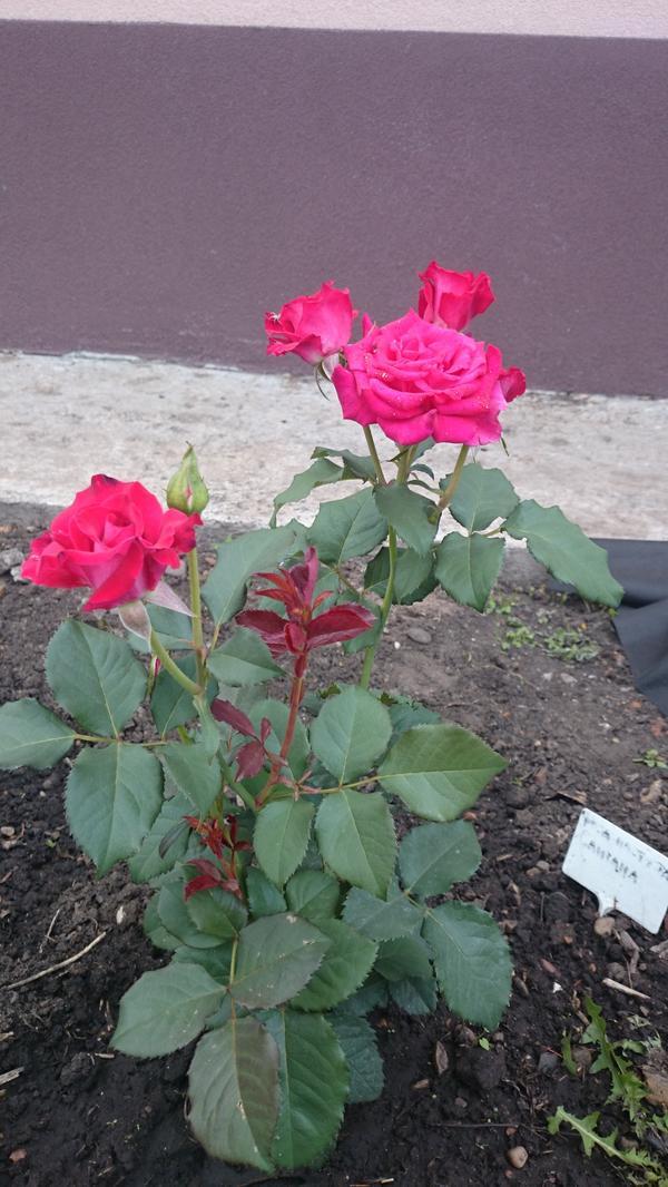 Роза Сантана?
