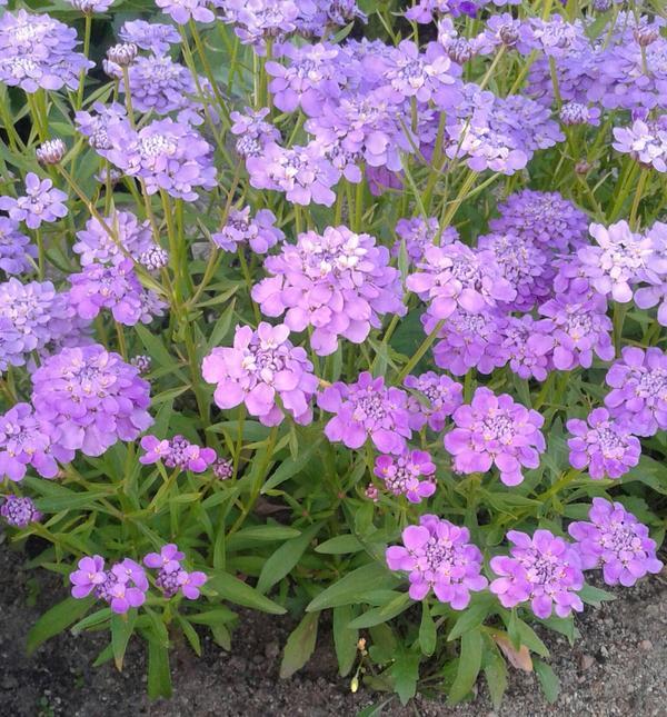Цветы 30-40 см. Зацвели в июне. Как название?