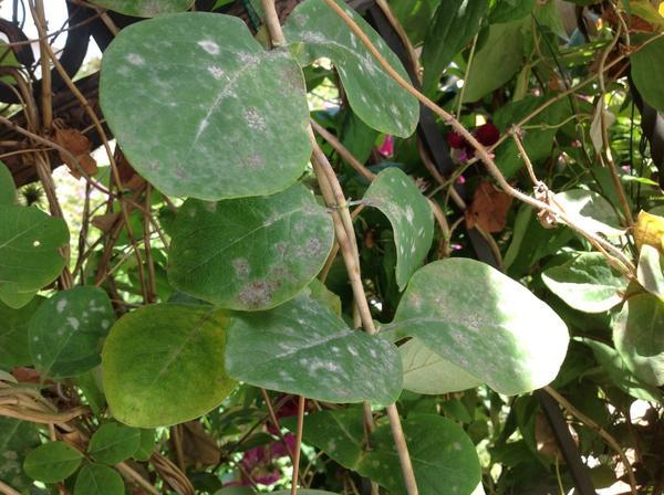Больные листья декоративной жимолости