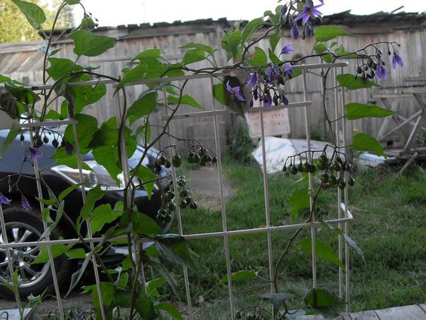 Растение на огороде