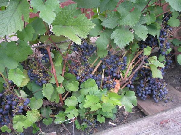 Виноград сорта Загадка Шарова