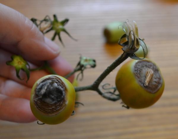 """Гниёт с внешней стороны каждая помидорка (""""Де Барао Чёрный"""")"""
