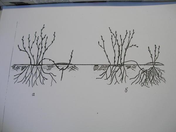 Размножение крыжовника боковыми отводками.