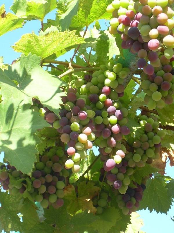 Выращенный нами виноград