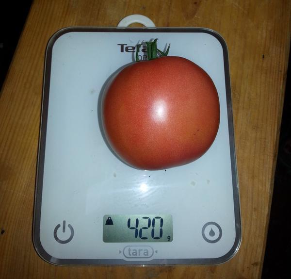 """Вес самой крупной помидоры - 420 грамм. На дату - 9.08.2015 г. Сорт """"Ягода малина F1"""""""