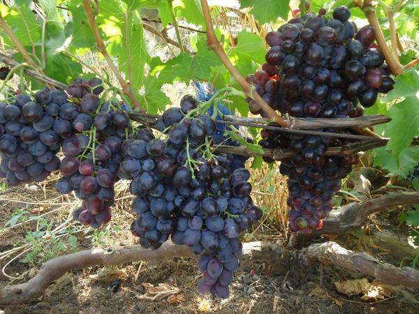 наш любимый виноград