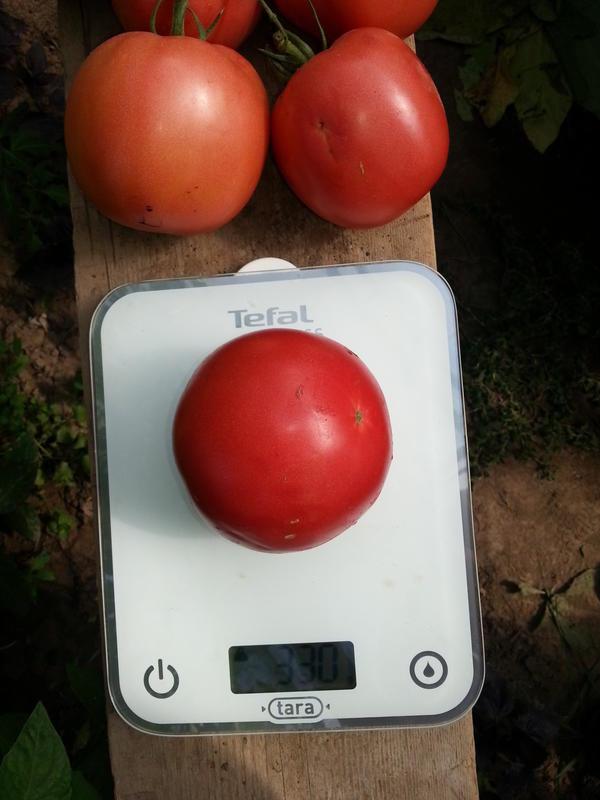 Средний вес экземпляров на нижних кистях 300-350 грамм