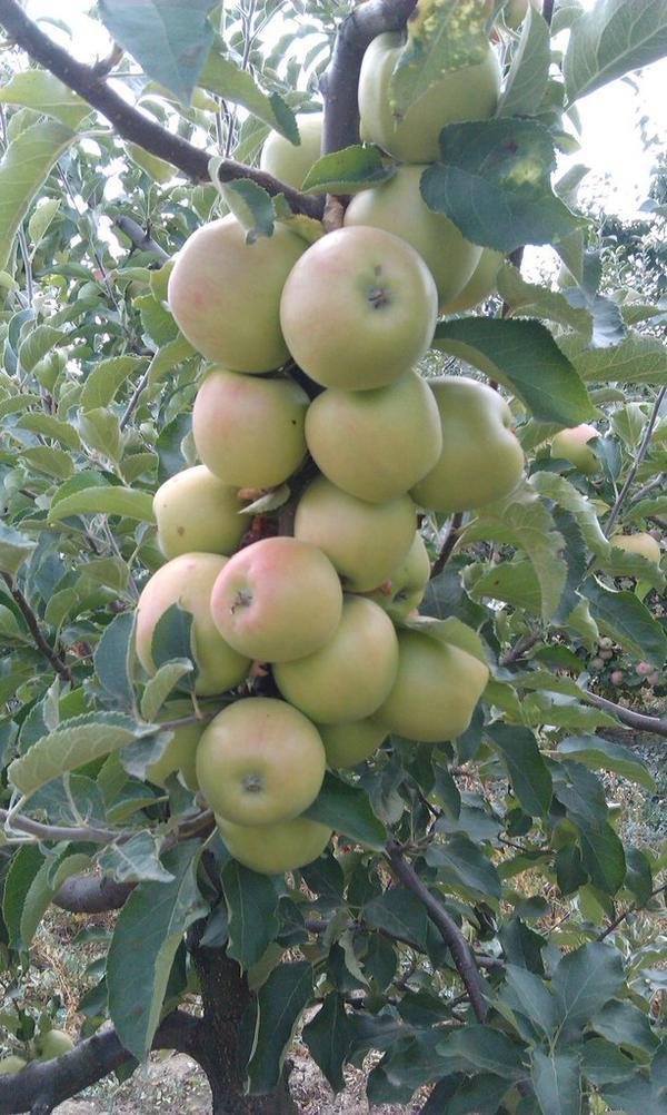 Вкуснейшие яблоки