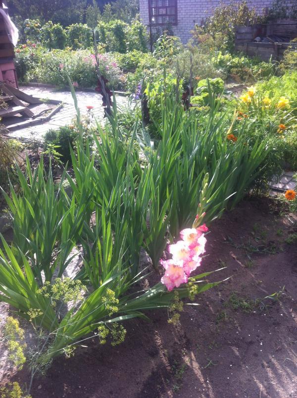 гладиолус начало цветения