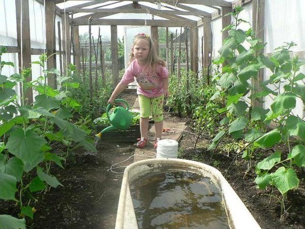 Первый урожай в нашей тепличке