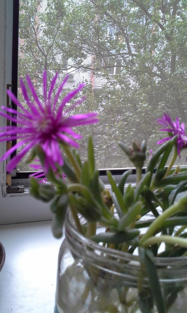 Цветок похож на разновидность  видимо камнеломки, но цветок своеобразный чем-то напоминает цветок бессмертника