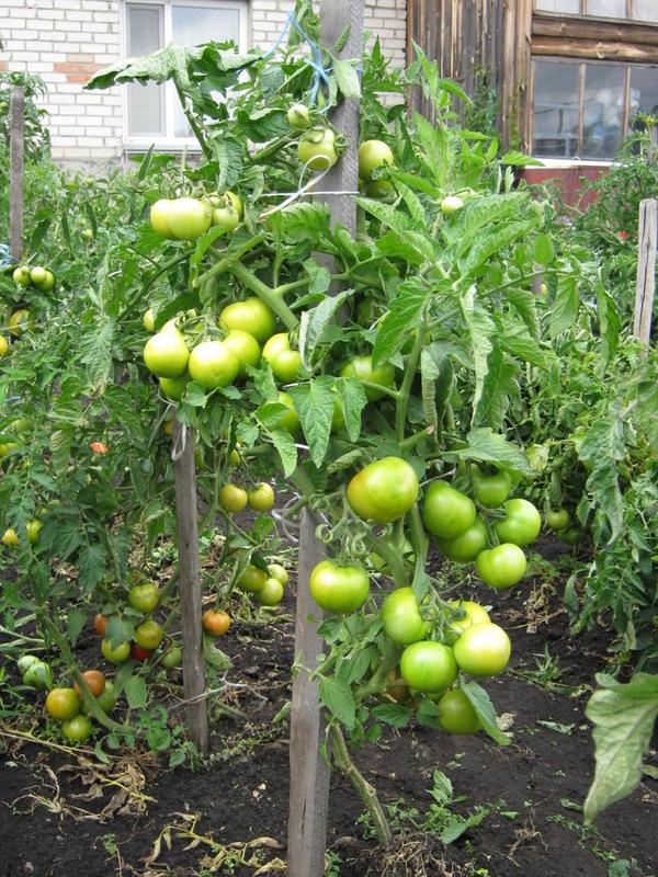 кусты томатов  Снегопад и Суперприз