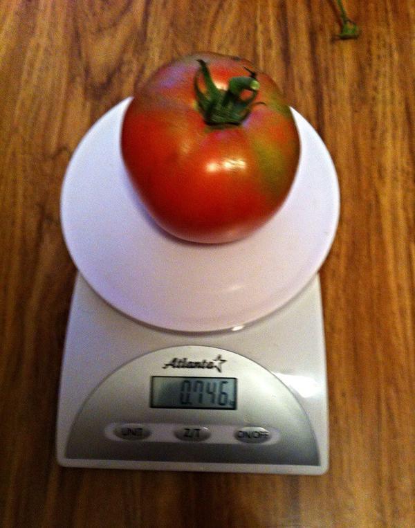 Самый крупный помидор.
