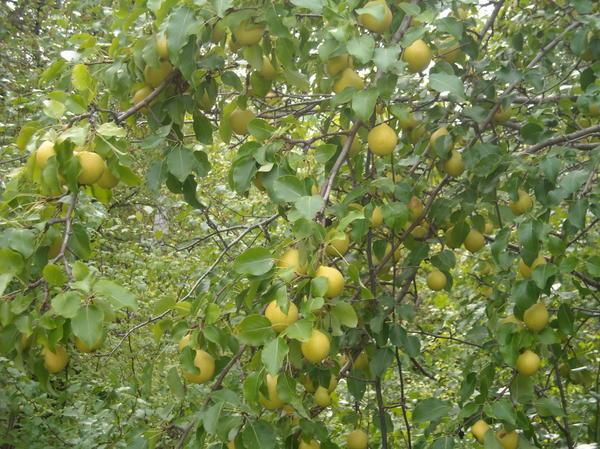 дерево груша - 2