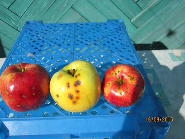 Чем поражены яблоки? Кто знает?