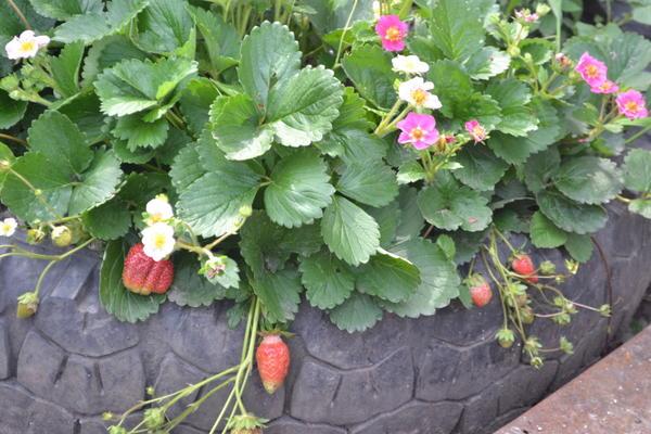 клубника с розовыми цветами